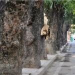 Cần xem xét truy cứu hình sự vụ án chặt phá 500 cây xà cừ đường Nguyễn Trãi