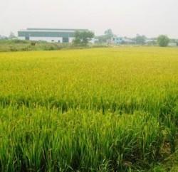 Chuyển đổi từ đất trồng lúa sang đất ở theo quy định mới