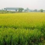 Chuyển đất trồng lúa sang đất làm trang trại có được không?